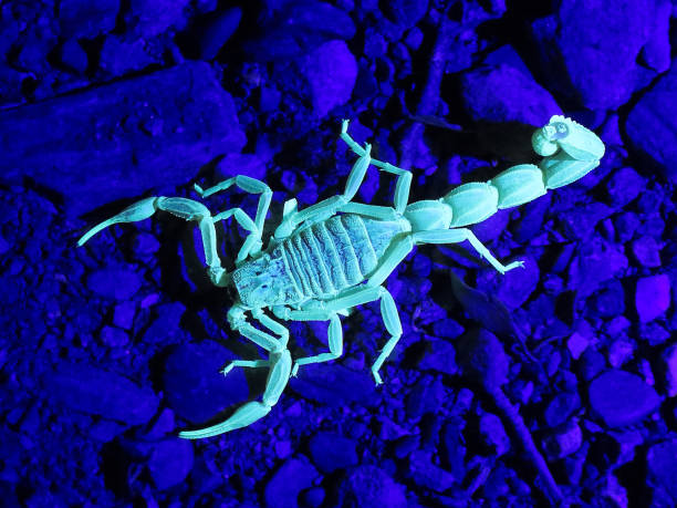 scorpion under uv light - scorpion stock photos and pictures