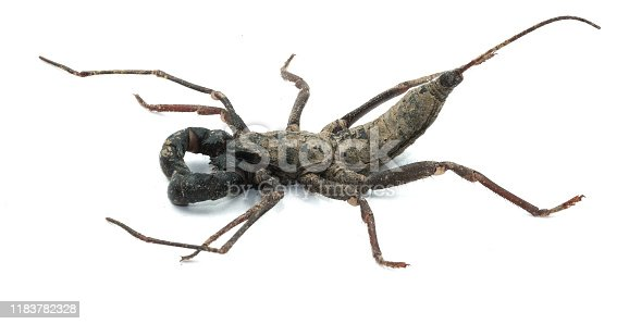 scorpion whip black insect side view isolated on white background