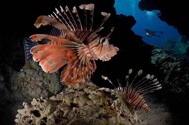 scorpionfish - lionfish stock photos and pictures