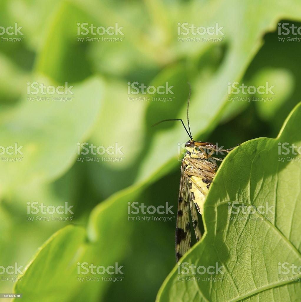 Scorpionfly royalty-free stock photo