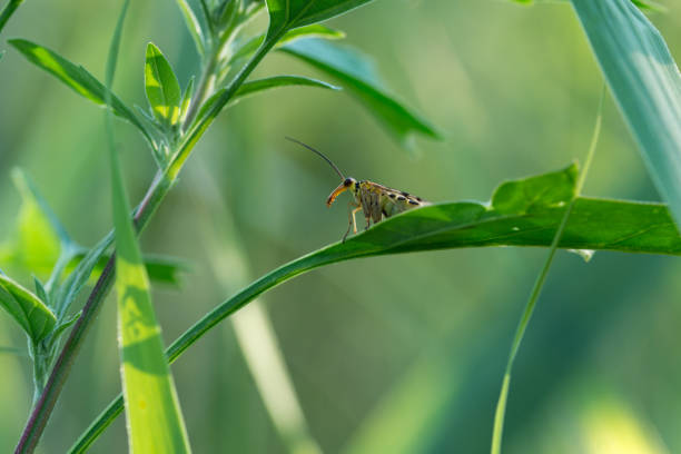 Scorpionfly ruht auf dem Blatt – Foto