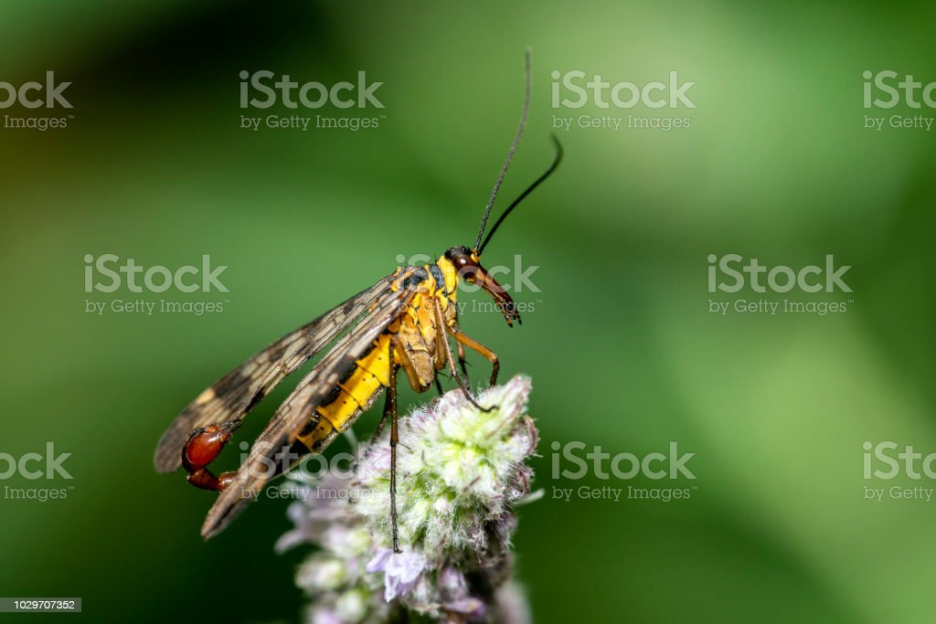 Scorpions fly stock photo