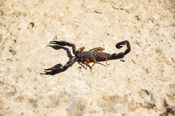 Scorpions Scorpio in natural environment 2019 arachnid stock pictures, royalty-free photos & images