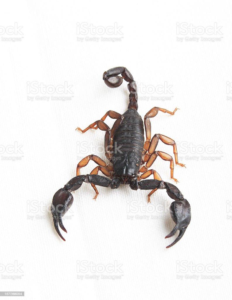 Scorpius royalty-free stock photo