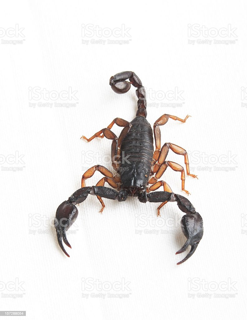 Scorpius stock photo