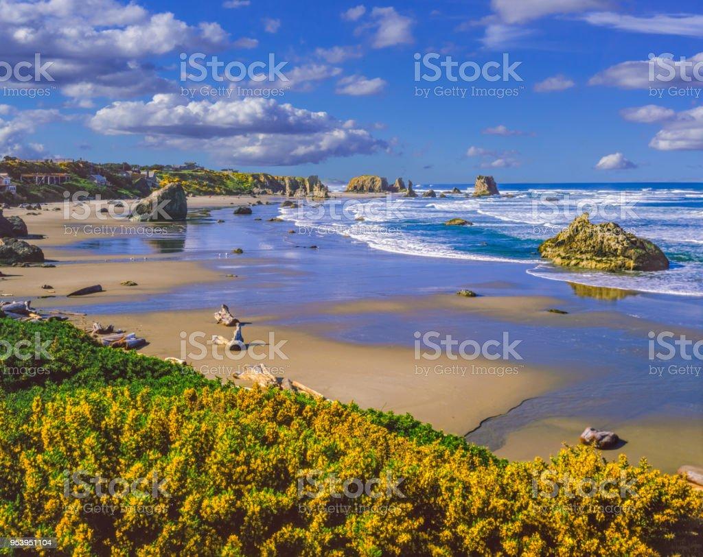 Scotch Broom blooms along the rocky coast of Bandon Beach, Oregon stock photo