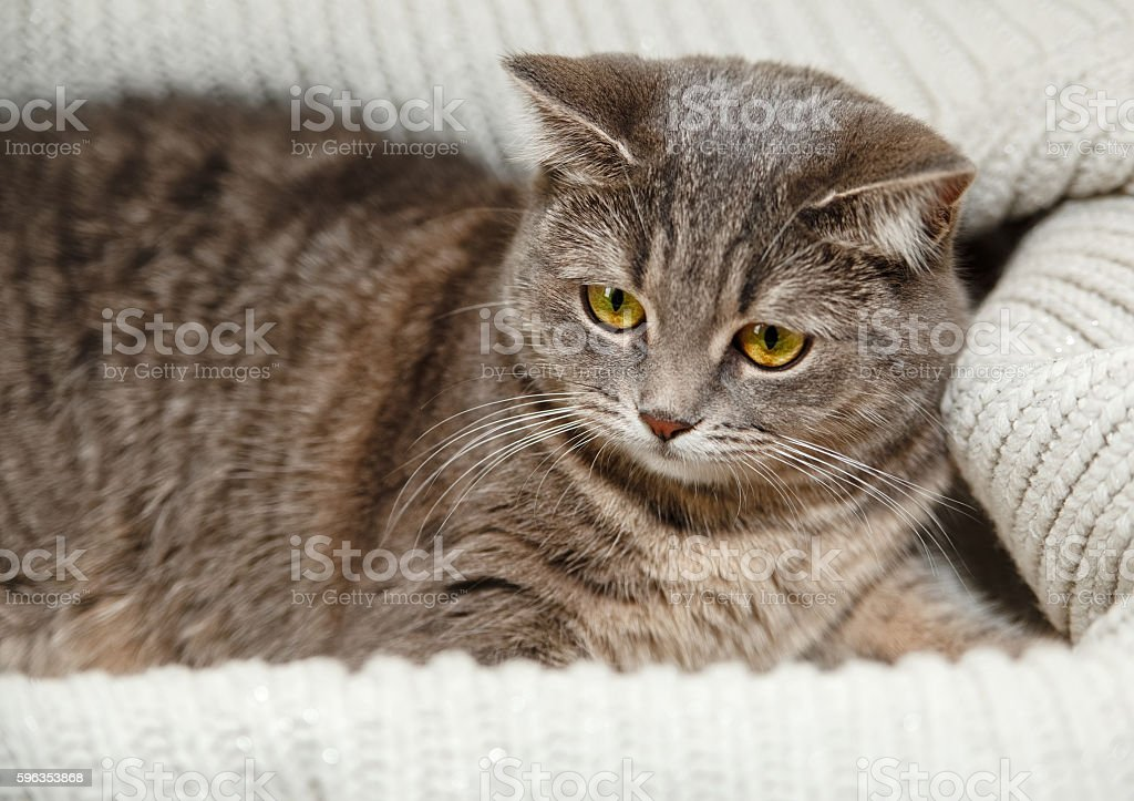 Scotch Grey Cat.Knitted White Sweater.Animal Fauna,Interesting Pet. royalty-free stock photo