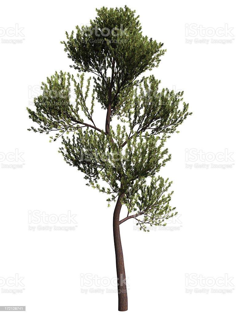 scotch pine royalty-free stock photo