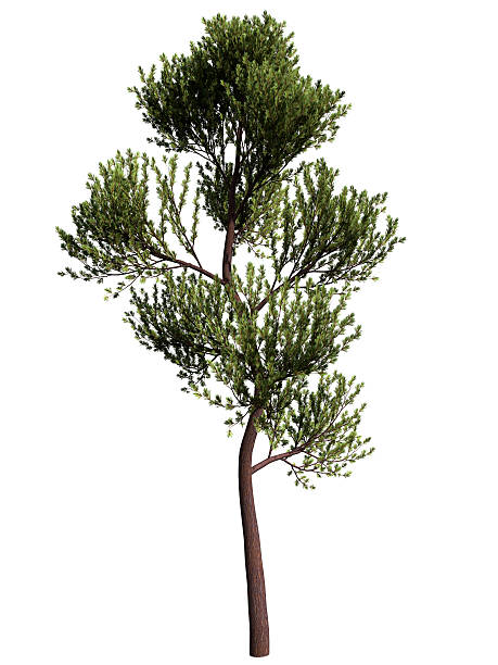 scotch pine - fur bildbanksfoton och bilder