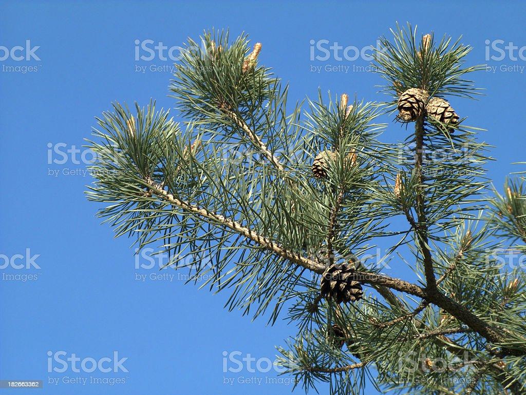 Scotch pine stock photo