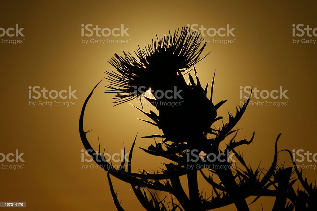 Scotch Thistle 4 royalty-free stock photo