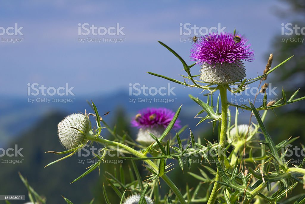 Scotch thistle flowerhead stock photo