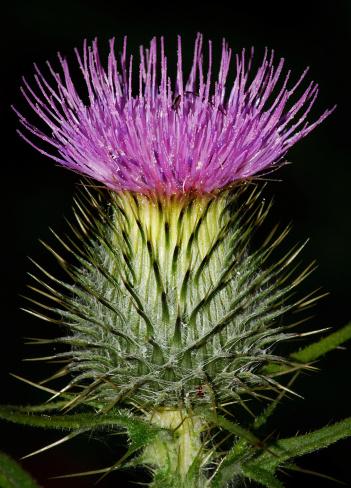 Scottish Thistle in flower