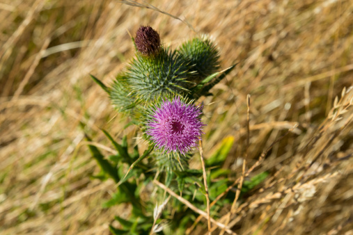 Scottish Thistle, Nature, Beauty In Nature, Single Flower, Traditional Culture, Focus On Foreground, Botany, Selective Focus, Scotland, Thorn, Flower, Plant, Celtic Culture, Scottish Culture, Insignia, Spiked, Thistle, Purple, Green, Heraldic Symbol