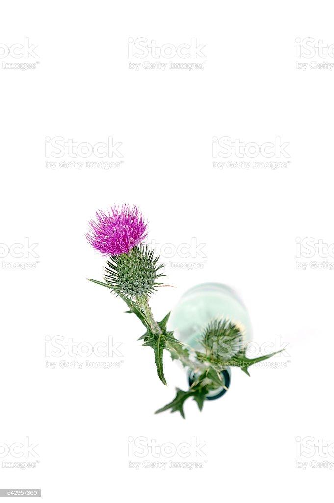 scotch thistle stock photo