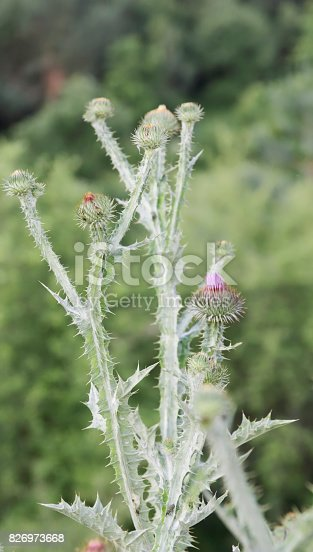 Very stout gray- or white-felted, tall biennial, to 3m; stem branched above, often yellowish, spiny-winged to the top. Leaves in a basal rosette in the first year, oval to lanceolate, with a spiny, undulate margin. Flower heads thistle-like, purple or white, 30-50mm, usually solitary; flower bracts numerous, spreading, ending in a yellowish spine.