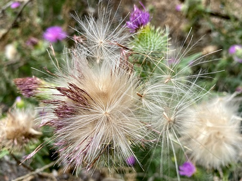 Horizontal closeup photo of a Scotch Thistle plant with purple flowers, spiky green leaves and mature seed heads releasing their thistle down.