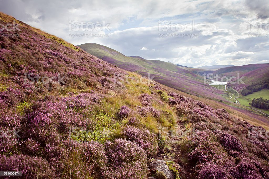 Scotland heather meadow stock photo