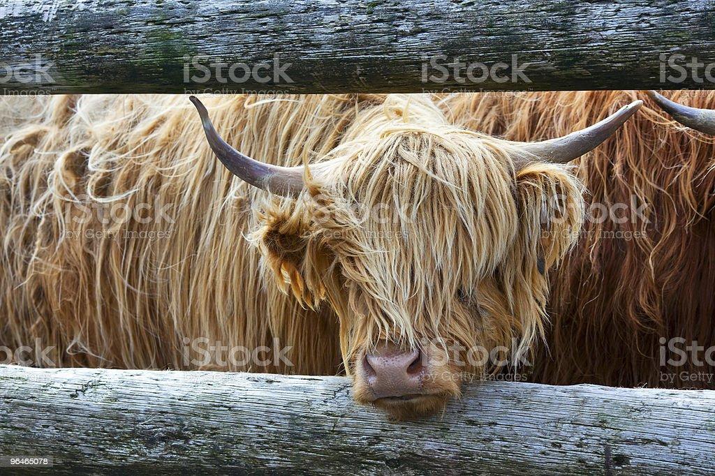 Scots bull royalty-free stock photo