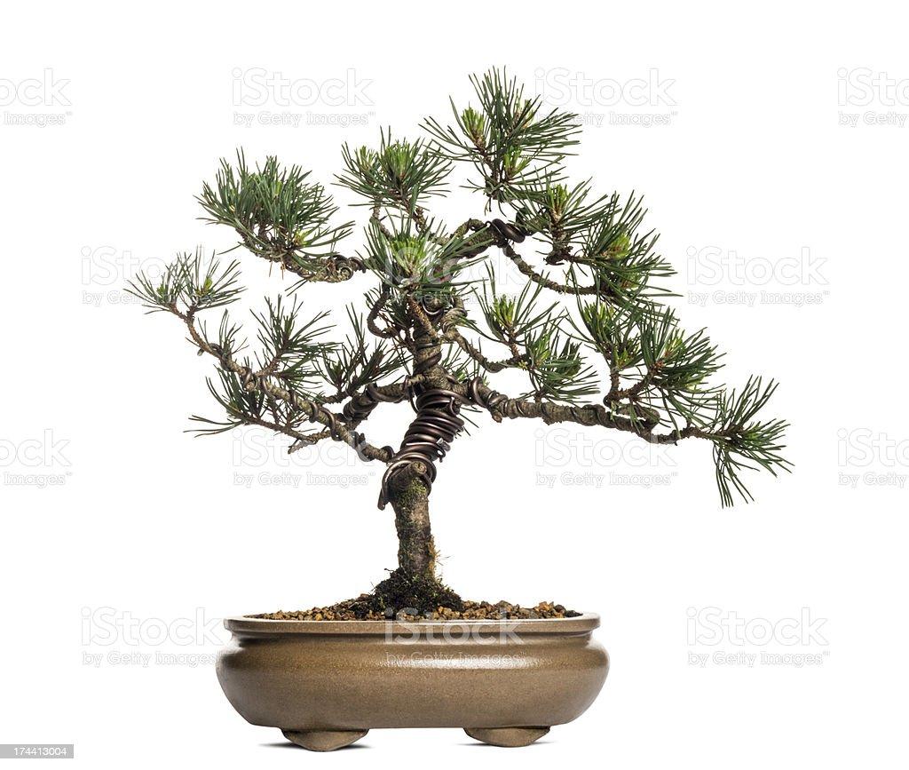 Scots Pine Bonsai Tree Pinus Sylvestris Isolated On White Stock Photo Download Image Now Istock