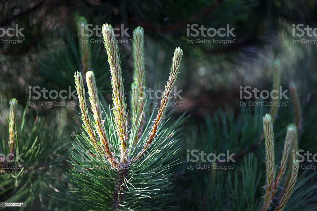 Scots pine branches with young shoots stock photo
