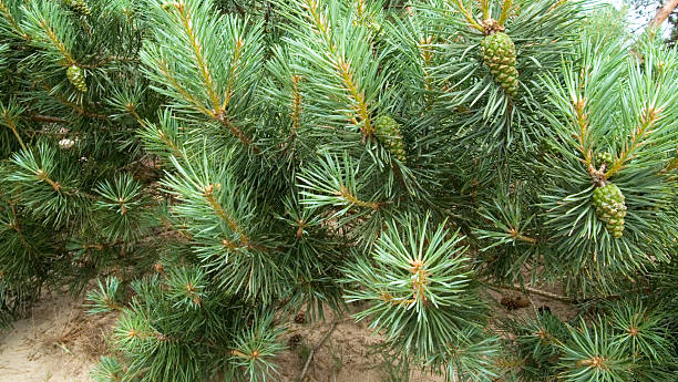 scots pine (pinus sylvestris), detail - fur bildbanksfoton och bilder