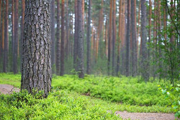 scots pine forest - fur bildbanksfoton och bilder