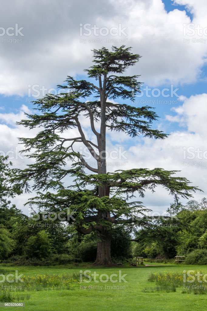 Scots Pine in Hatfield forest - Royalty-free Beauty In Nature Stock Photo