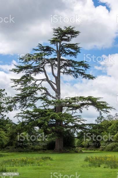Foto de Pinheiro Em Hatfield Forest e mais fotos de stock de Alto - Descrição Geral