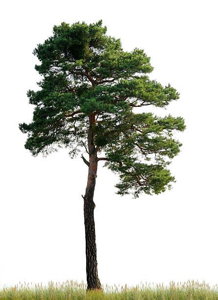 Scots Pine (Pinus sylvestris) on meadow isolated o_n white. stock photo