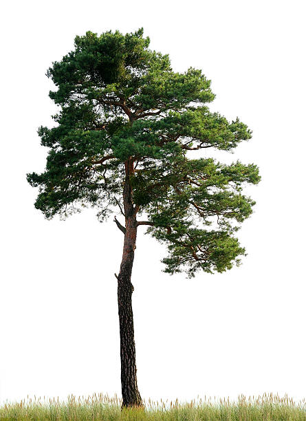 scots pine (pinus sylvestris) on meadow isolated o_n white. - fur bildbanksfoton och bilder