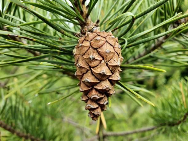 Scots pine stock photo