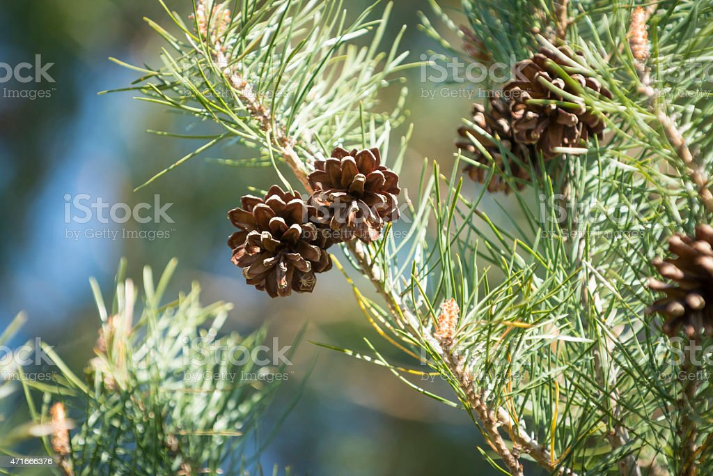 Scots pine [Pinus sylvestris] stock photo