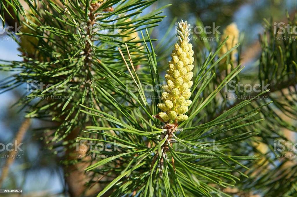 Scots pine pollen cone in Spring stock photo