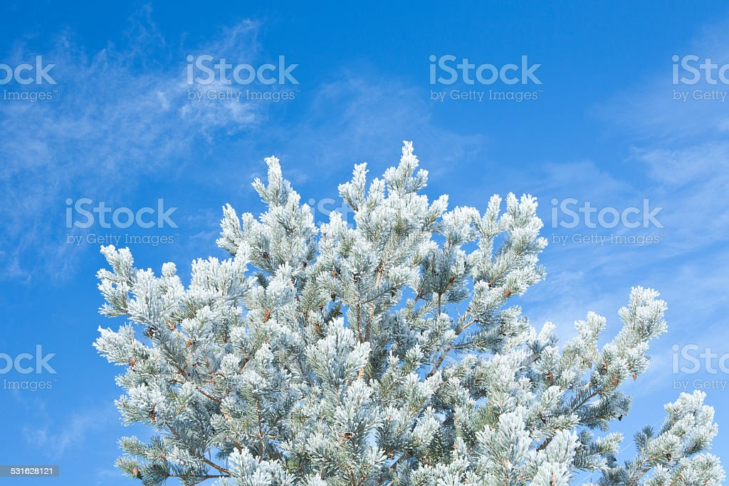 Scots Pine tree covered in frost stock photo