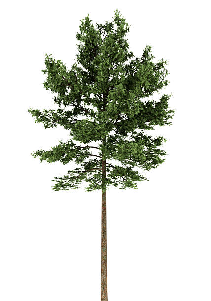 scots pine tree isolated on white background - fur bildbanksfoton och bilder