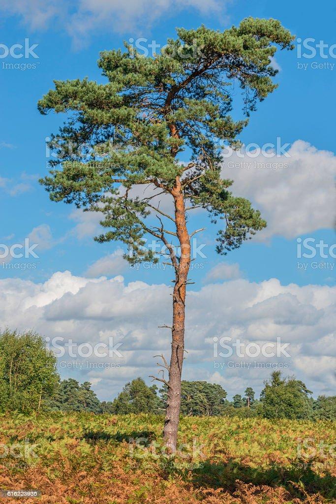 Scots Pine Tree stock photo