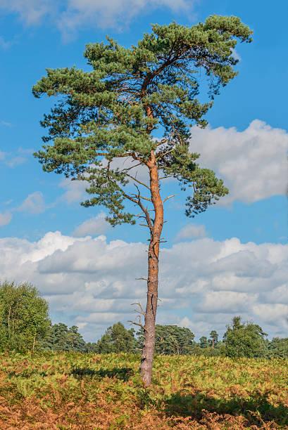 scots pine tree - fur bildbanksfoton och bilder