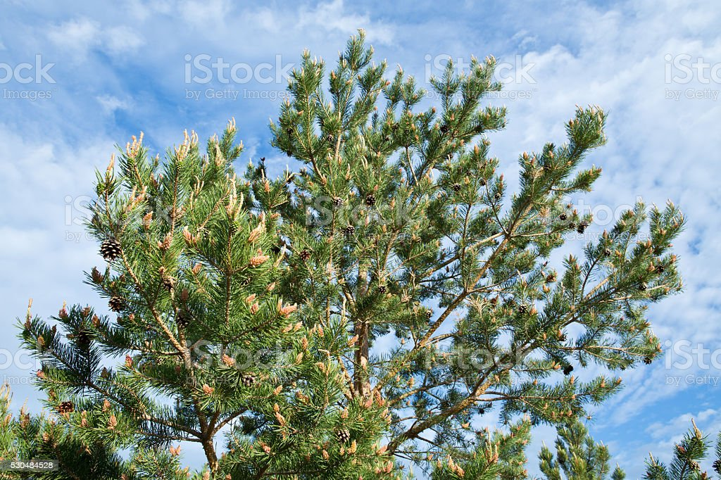 Scots pine tree with cones in Spring stock photo