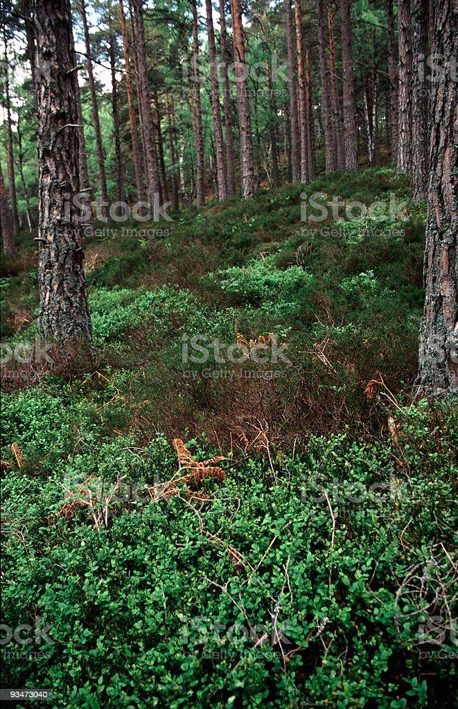 Scots Pine Woodland stock photo