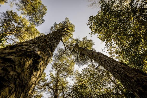 skottarna tallar, underifrån, i en blandad skogsmark - fur bildbanksfoton och bilder