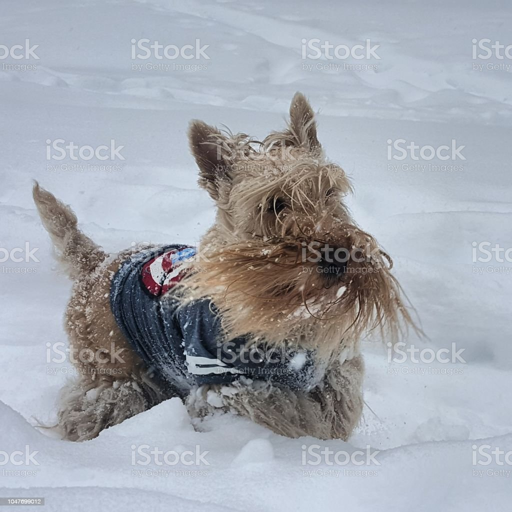 Scottie dog in snow royalty-free stock photo