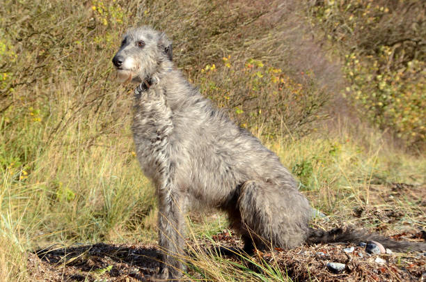 Scottis deerhound Scoottish deerhound sitting in a natural environment. sight hound stock pictures, royalty-free photos & images