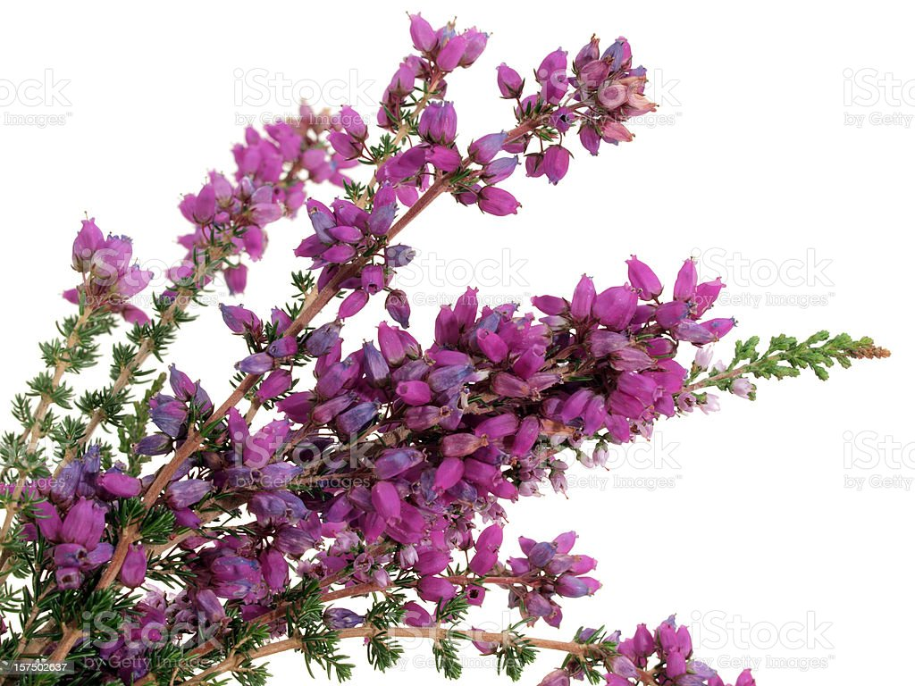 Scottish Bell Heather On White Background Stock Photo More