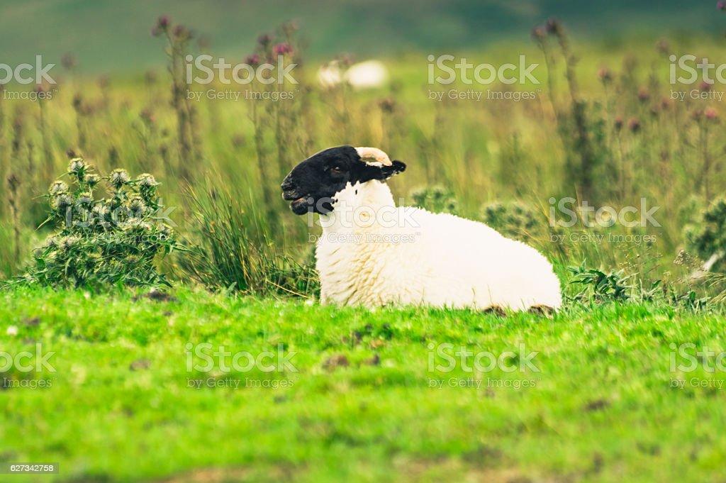 Scottish Blackface lamb stock photo