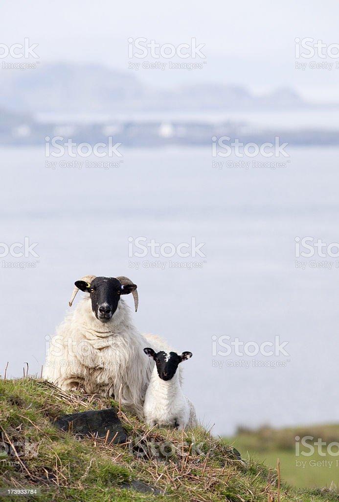 Scottish blackface sheep and lamb stock photo