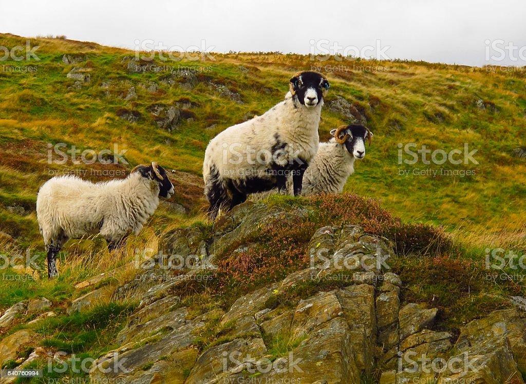 Scottish blackface sheep horned sheep rugged terrain stock photo