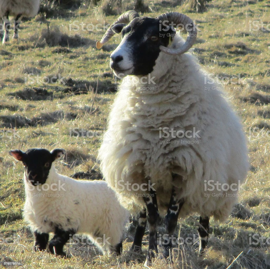 Scottish Blackface Sheep stock photo