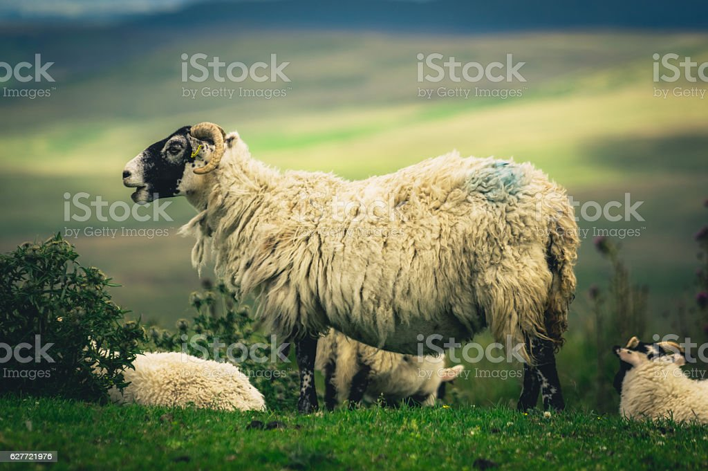 Scottish Blackface sheep stock photo