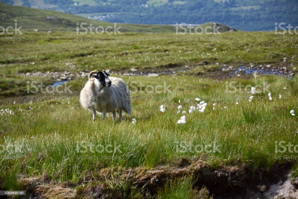 Scottish Blackface Sheep with idyllic summer mountains landscape, Highlands, Scotland, United Kingdom stock photo